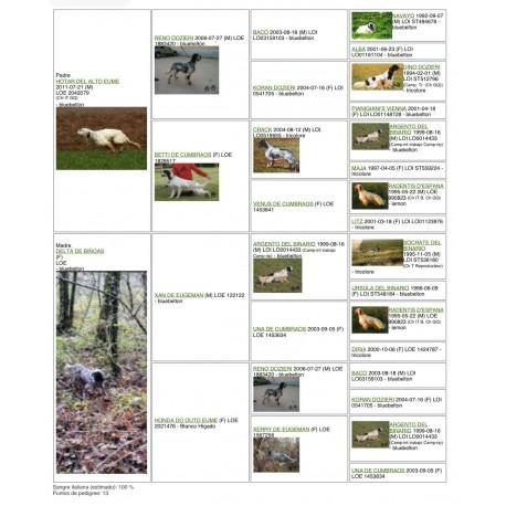 Epagneul Bretón macho  cazando 3 años. Cazando codorniz , perdiz  y  algo de conejo