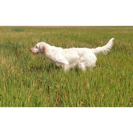 Beagle 3 años macho. cazando  conejo.