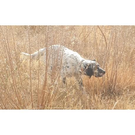 Pointer hembra 2 años y medio cazando  codorniz  y perdiz.