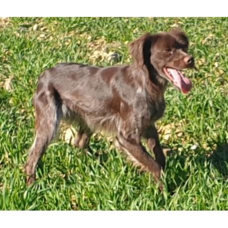 Braco alemán  hembra  3 años cazando codorniz,  perdiz y conejo.